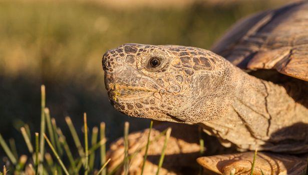 a cute endangered desert tortoise in Arizona