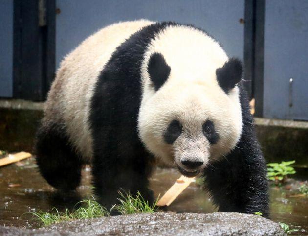 12日に2歳を迎えるジャイアントパンダのシャンシャン=2019年6月10日午前9時52分、東京都台東区、江口和貴撮影