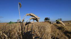 La récolte céréalière va dépasser les 20 millions de quintaux, au cours de cette campagne selon le ministère de