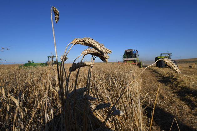 La récolte céréalière va dépasser les 20 millions de quintaux, au cours de cette campagne selon le ministère...