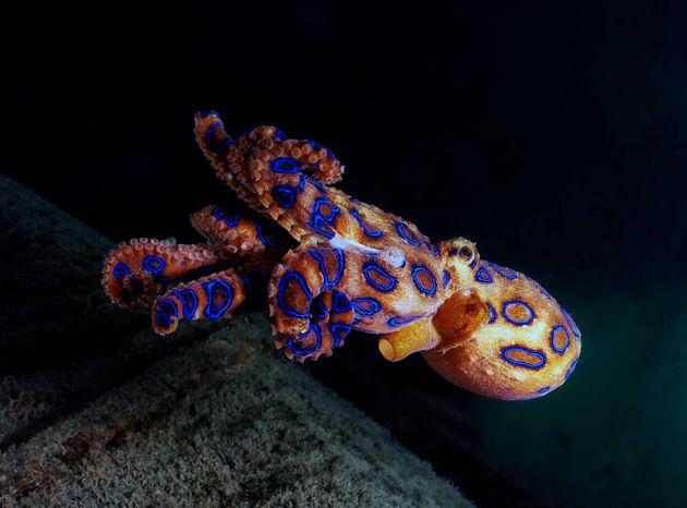 Χταπόδι με μπλε δακτυλίους. Ένα από τα πιο δηλητηριώδη πλάσματα στον πλανήτη.