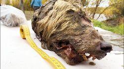 La tête d'un loup de 40.000 ans retrouvée parfaitement