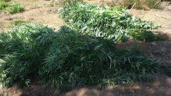 Επιχείρηση της ΕΛ.ΑΣ. σε φυτεία κάνναβης: Ξεριζώθηκαν 12.800