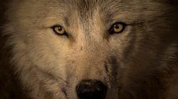 Κεφάλι τεράστιου προϊστορικού λύκου βρέθηκε στη