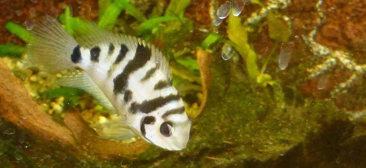 Le clichildé zébré, dont le nom scientifique est Amatitlania siquia, est un petit poisson monogame qui forme des couples stables dans le temps.