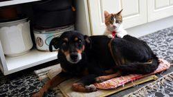 일본에서 개와 고양이의 마이크로칩 장착이