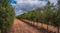 L'ONSSA met en garde pour garder le Maroc indemne de la bactérie des plantes Xylella