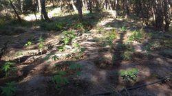 Αυτές είναι οι «χρυσές» φυτείες κάνναβης που θα έφερναν κέρδη 6 εκατ.