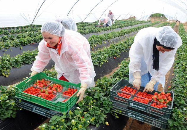 Espagne: 268 contrats pour les ouvrières saisonnières marocaines pour la récolte des