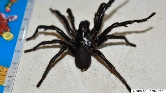 'Big Boy' Funnel-Web Spider Caught For Milking In Australia, As Reptile Park Encourages Public To Collect