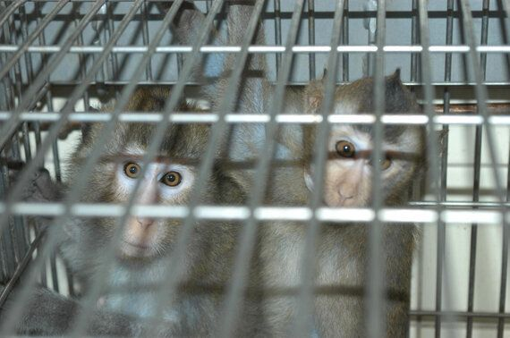 Flagship Monkey Research 'Success Story' Owes Everything to Human - Not Monkey -