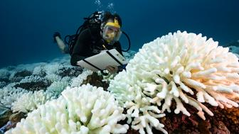 "FRENCH POLYNESIA - SOCIETY ARCHIPELAGO - MAY 09: A diver checks the coral reefs of the Society Islands in French Polynesia. on May 9, 2019 in Moorea, French Polynesia. Major bleaching is currently occurring on the coral reefs of the Society Islands in French Polynesia. The marine biologist teams of CRIOBE (Centre for Island Research and Environmental Observatory) are specialists in the study of coral ecosystems. They are currently working on ""resilient corals"", The teams of PhD Laetitia Hédouin identify, mark and perform genetic analysis of corals, which are not impacted by thermal stress. They then produce coral cuttings which are grown in a ""coral nursery"" and compared to other colonies studying the resilience capacity of coral. (Photo by Alexis Rosenfeld/Getty Images)."