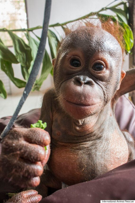'Mummified' Baby Orangutan's Incredible Transformation After Rescue From Cardboard Box In