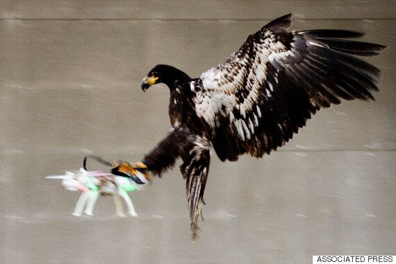 Eagles Could Be Used To Take Down Drones, Metropolitan Police Chief
