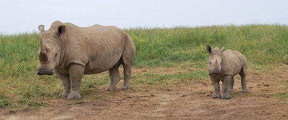 Fighting the Rhino
