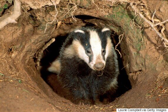 Badger Uncovers Bronze Age Burial Site Including Human Remains Near