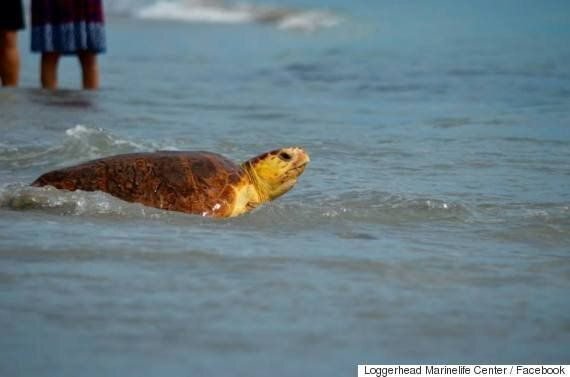 Loggerhead Turtles Released Back Into Wild By Florida Marine Life