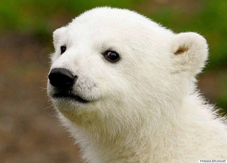 Knut The Polar Bear's Mysterious Death Has Been
