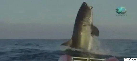 Great White Shark Stuns Australian TV Hosts Into