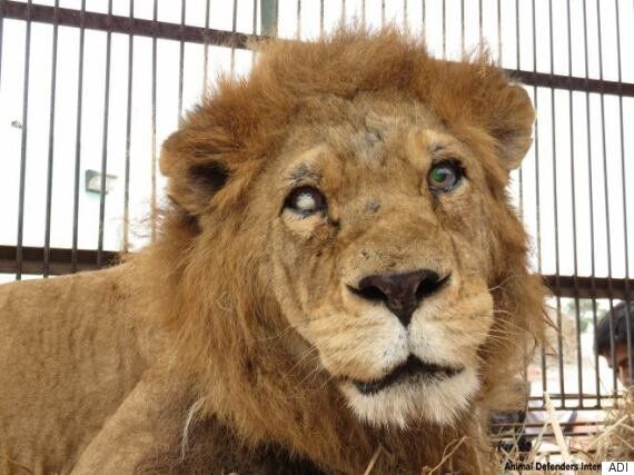 33 Circus Lions Rescued By Animal Defenders International In South
