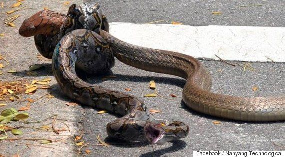 Python And King Cobra Fight Caught On Camera In