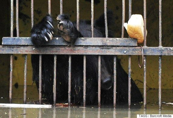 Bears Trapped In Submerged Cages After Flash Floods Deluge Russian