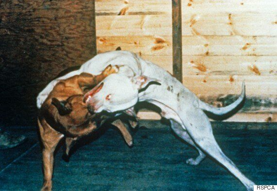 Dog Fighting Report From League Against Cruel Sports Reveals How
