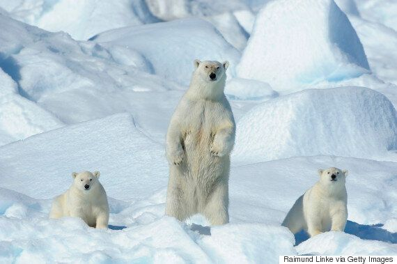 Polar Bears Trap Russian Scientists Inside Weather Station In Hunt For
