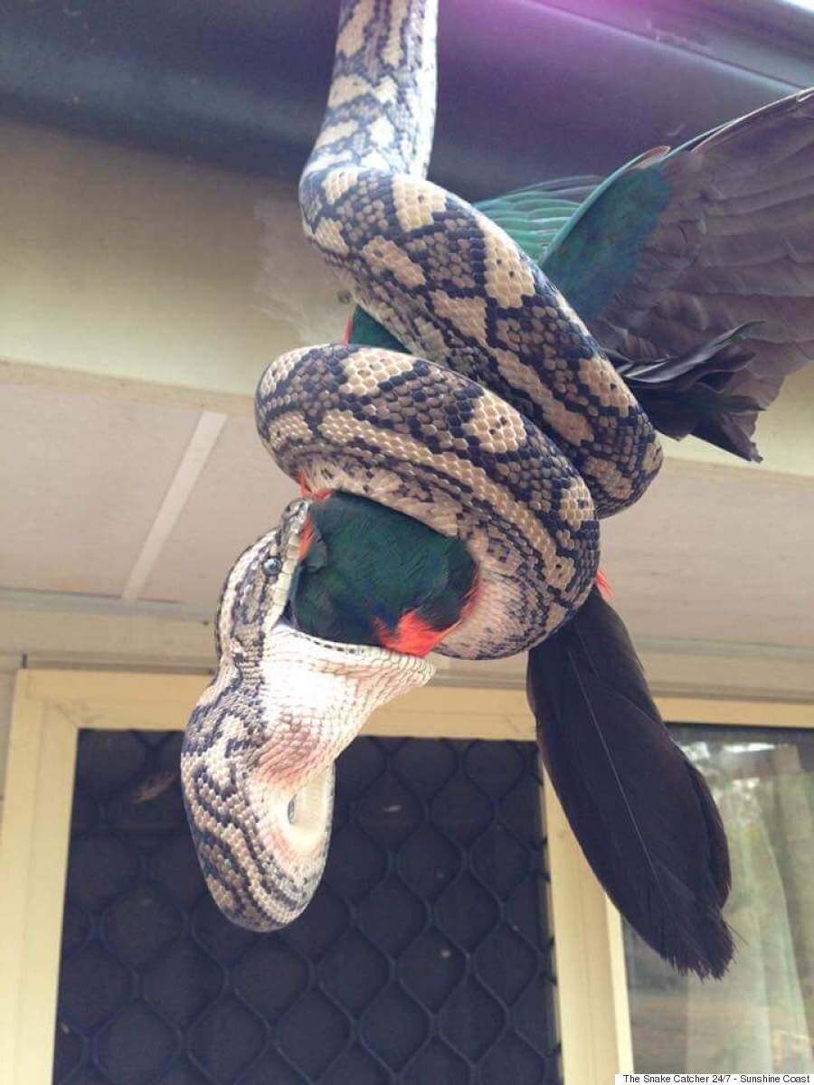 Carpet Python Swallows Parrot Whole In Astonishing Images From Agnes Waters,