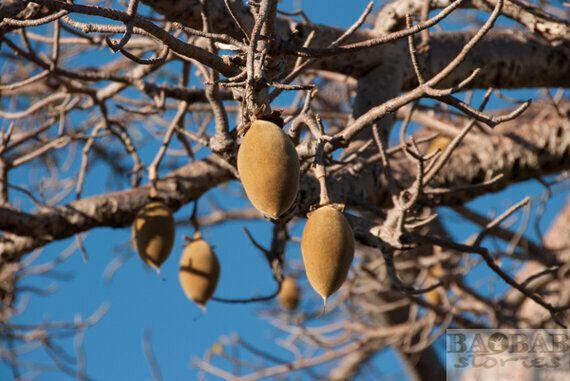Baobab Ecology: Jumpstart for