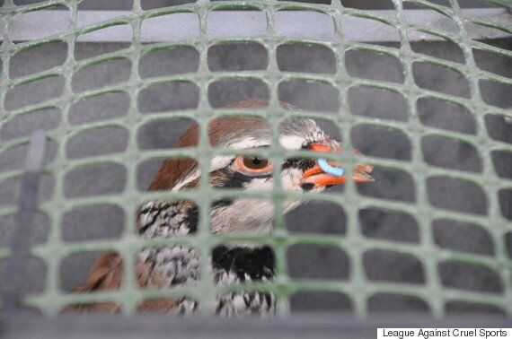 The League Against Cruel Sports Calls For Inquiry Into UK's Game Bird Shooting