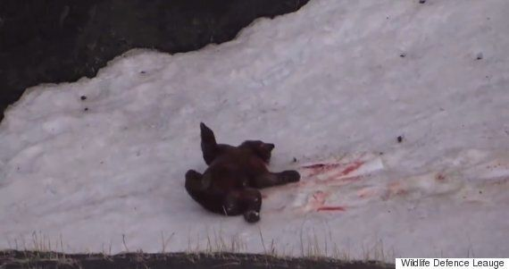 Wildlife Defense League Release Disturbing Footage Of Grizzly Bear Being Hunted In