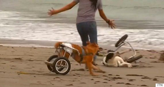 Paralysed Dogs Given Wheelchairs To Play On The Beach In