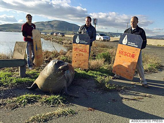 California Seal Highway Encounter Ends With Tranquiliser, And Return To The