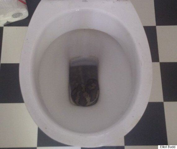 Pythons Found In Toilet In Australia, Measure Three Metres
