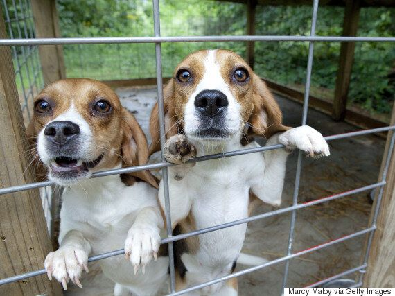 Yorkshire Beagle Breeding Facility: Home Office Faces Judicial Review After Appeal Launched By Cruelty...