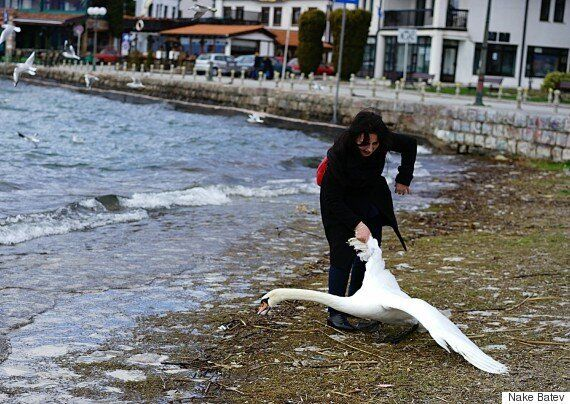 Swan Dies After Tourist Pulls It From Lake Ohrid For A Photo In
