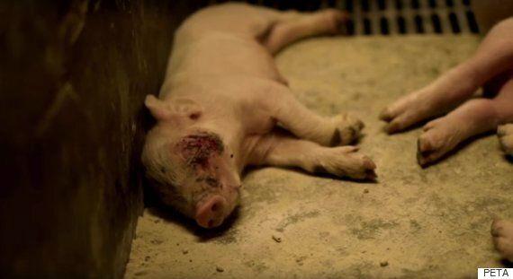 PETA's Pig Farm Footage Reveals Extreme Suffering On British