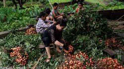 Ινδία: Περισσότερα από 50 παιδιά πέθαναν αφού έφαγαν το φρούτο