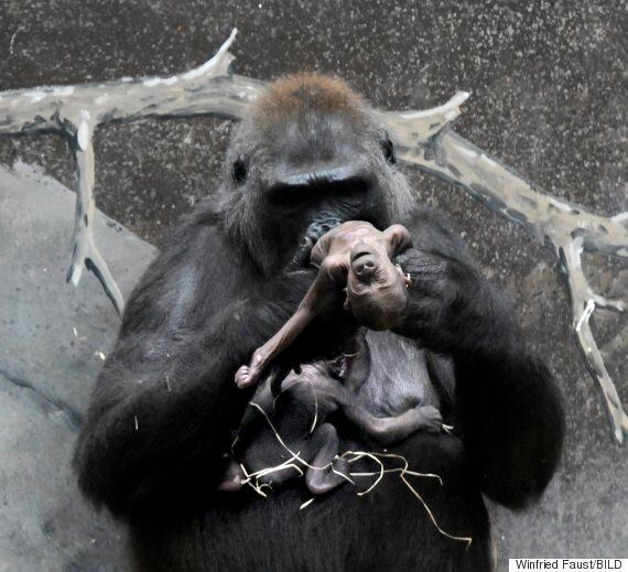 Heartbreaking Images Show Gorilla Carrying Dead Baby At Frankfurt