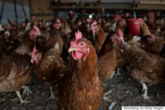 Bird Flu Strain Found In Poultry Farm In Fife,