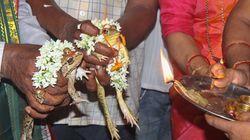 Ινδία: Πάντρεψαν βατράχια για να καλοπιάσουν τους Θεούς της