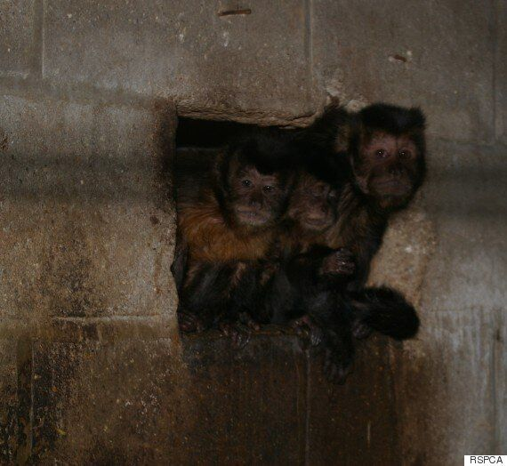 Primates As Pets Sparks Mass Campaign By RSPCA, Born Free Foundation And Animal Protection