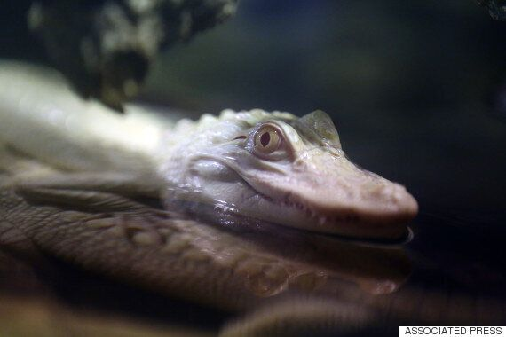 Fight Diseases Using Alligators And Frogs Instead Of