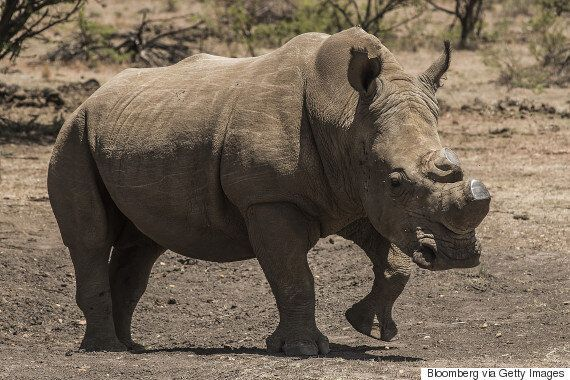 South Africa's Rhino Poaching Decision Threatens Survival Of The