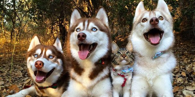 Three Huskies Are Best Friends With A