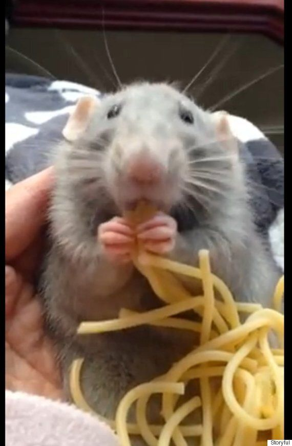 Spaghetti Rat Takes World By Storm In The Wake Of New York's Pizza