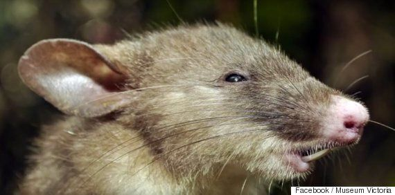 Hog-Nosed Shrew Rat Discovered By Australian Scientists Has Extra Long Pubic