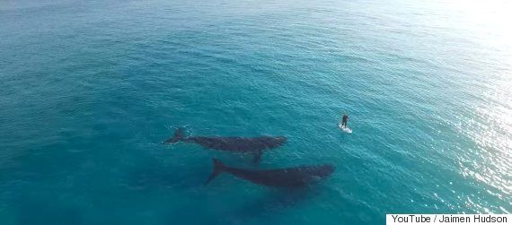 Whales Dwarf Paddle Boarder In Incredible Drone
