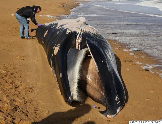 Dead Whale Washes Up On Kent